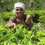 Matcha-Tee Pulver 500g - aus natürlichem Anbau - Premium Qualität auch zum kochen & backen und für grüne Smoothies
